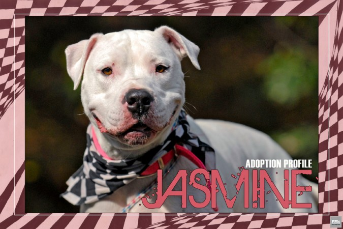 Jasmine the American Bulldog